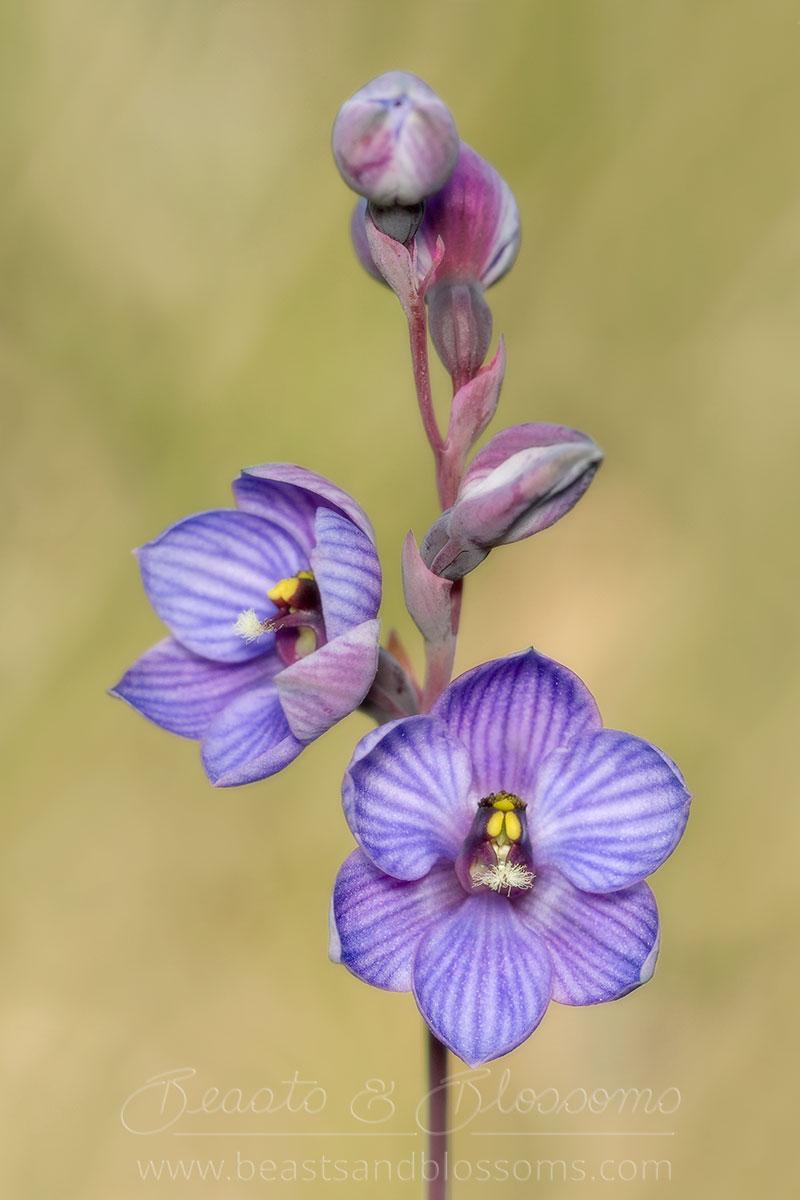 South west WA: shirt orchid (Thelymitra campanulata)