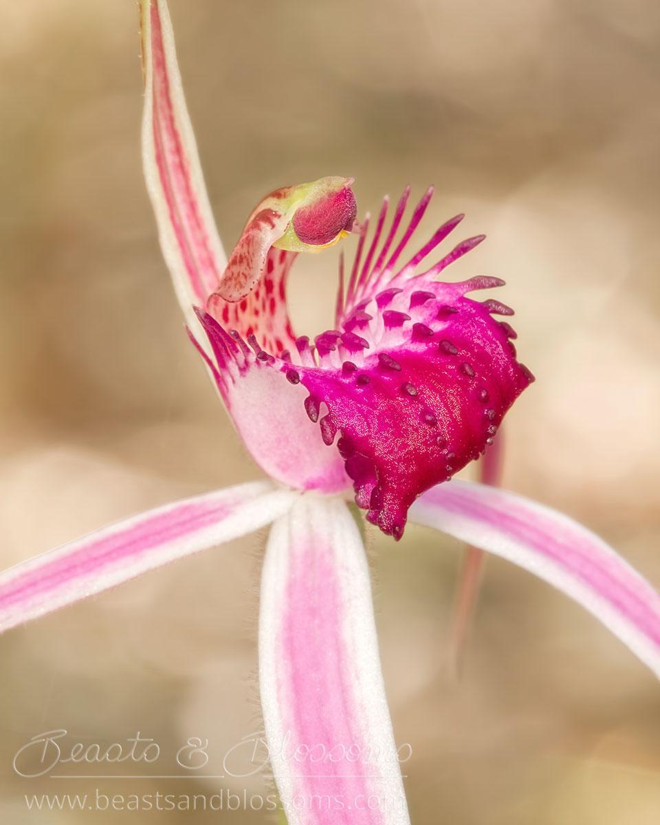 South west WA wildflower: cherry spider orchid (Caladenia gardneri)