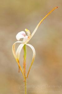 South west WA wildflower: Cossack spider orchid (Caladenia dorrienii), threatened (Endangered) flora