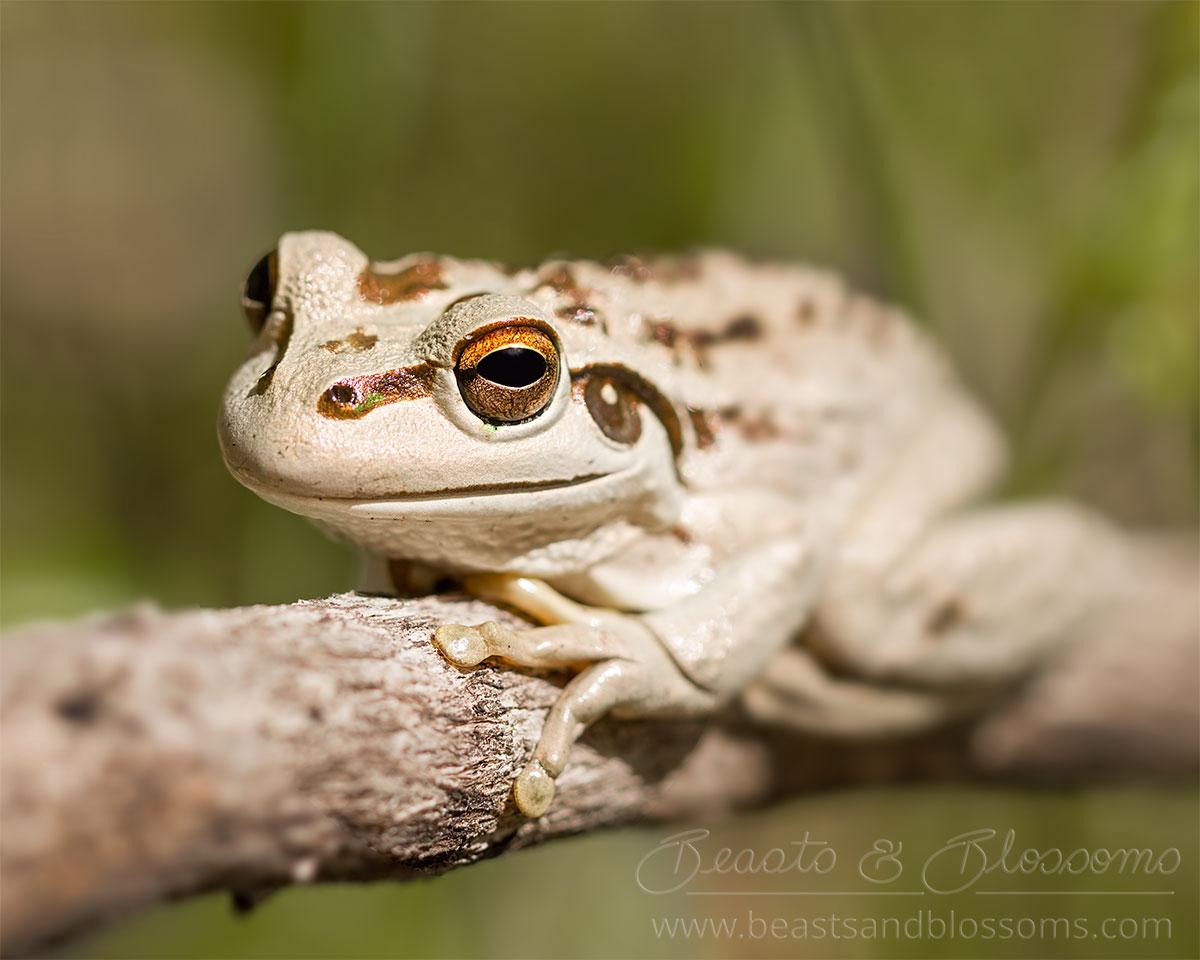 South west WA wildlife: motorbike frog (Litoria moorei)