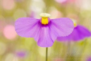 South west WA wildflowers: purple fairy apron (Utricularia benthamii; carnivorous bladderwort)