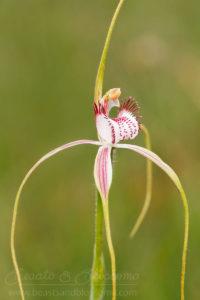 South west WA wildflower: Christmas spider orchid (Caladenia serotina)