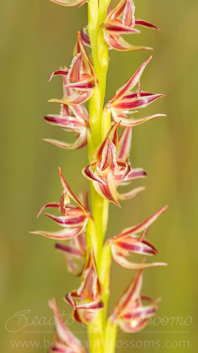 South west WA wildflower: swamp leek orchid (Prasophyllum drummondii)