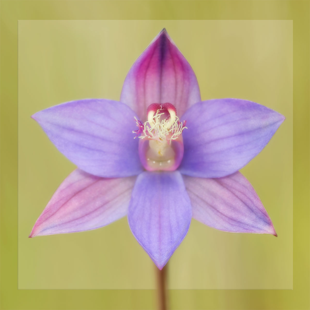 Beasts & Blossoms Nature Photography & Handmade Jewellery - every purchase supports wildlife conservation (image: plum sun orchid)