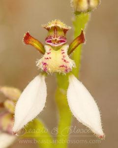 Easter bunny orchid (Eriochilus dilatatus magnus)