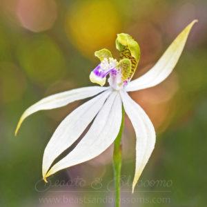 Leafless orchid (Praecoxanthus aphyllus)