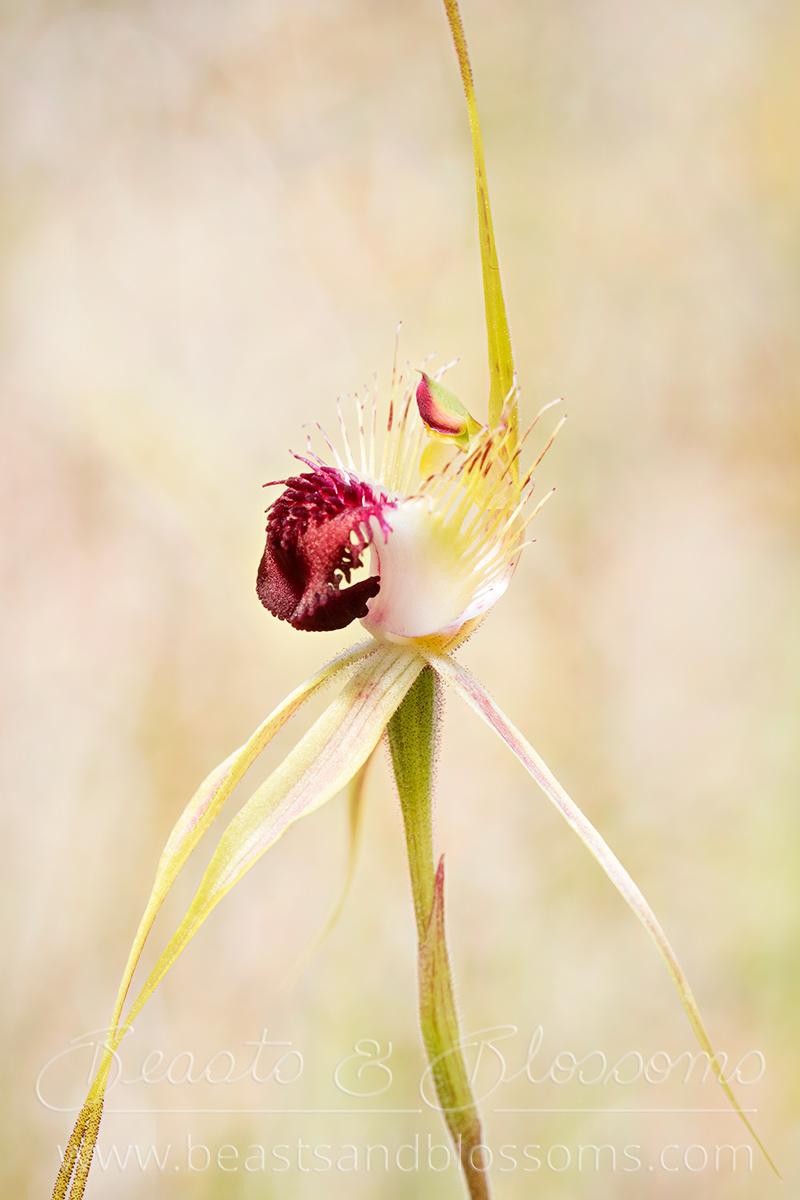 Grand spider orchid (Caladenia huegelii), threatened (Critically Endangered) flora