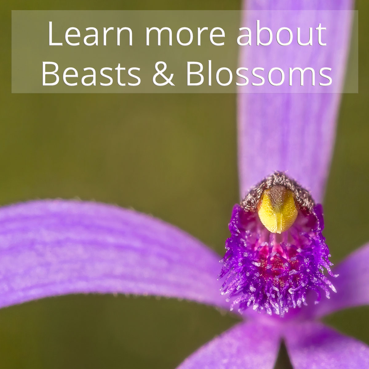 Learn more about Beasts & Blossoms (image: blue fairy orchid, Pheladenia deformis)