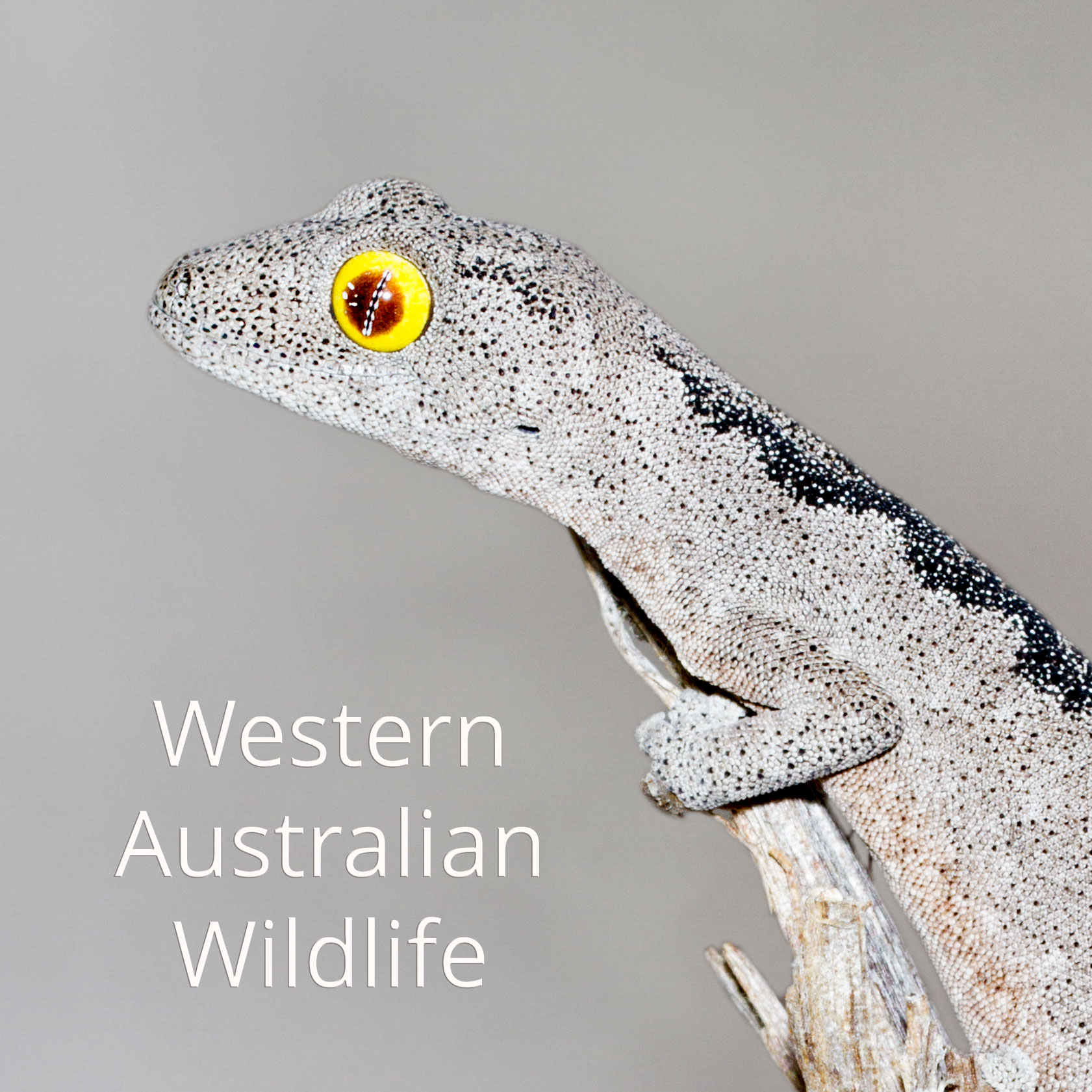 South-west spiny-tailed gecko (Strophurus spinigerus)