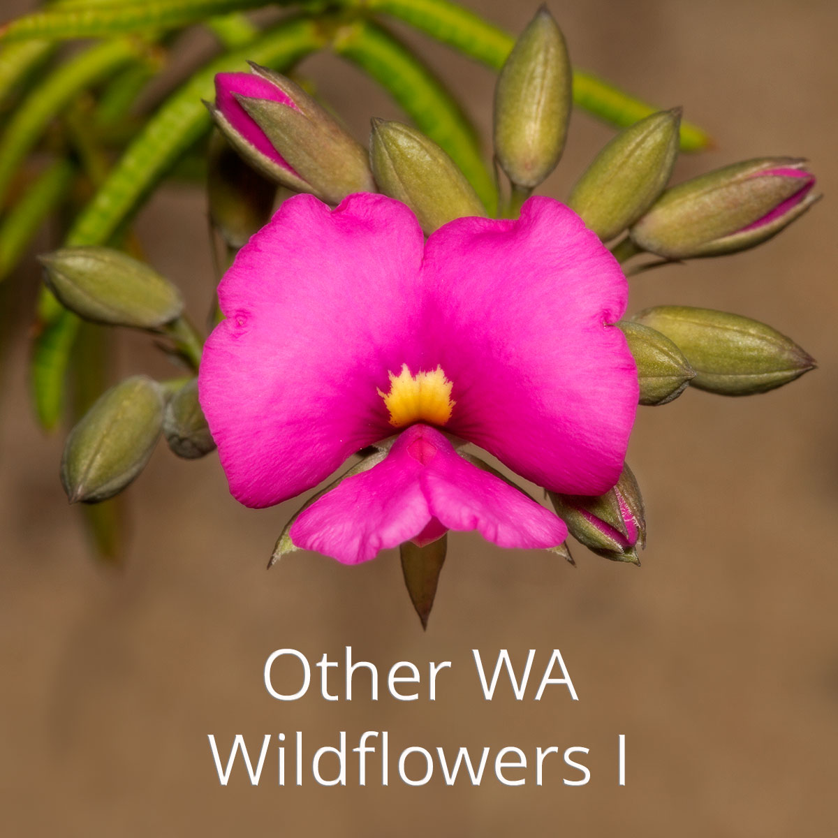 South west WA wildflower: pink pea
