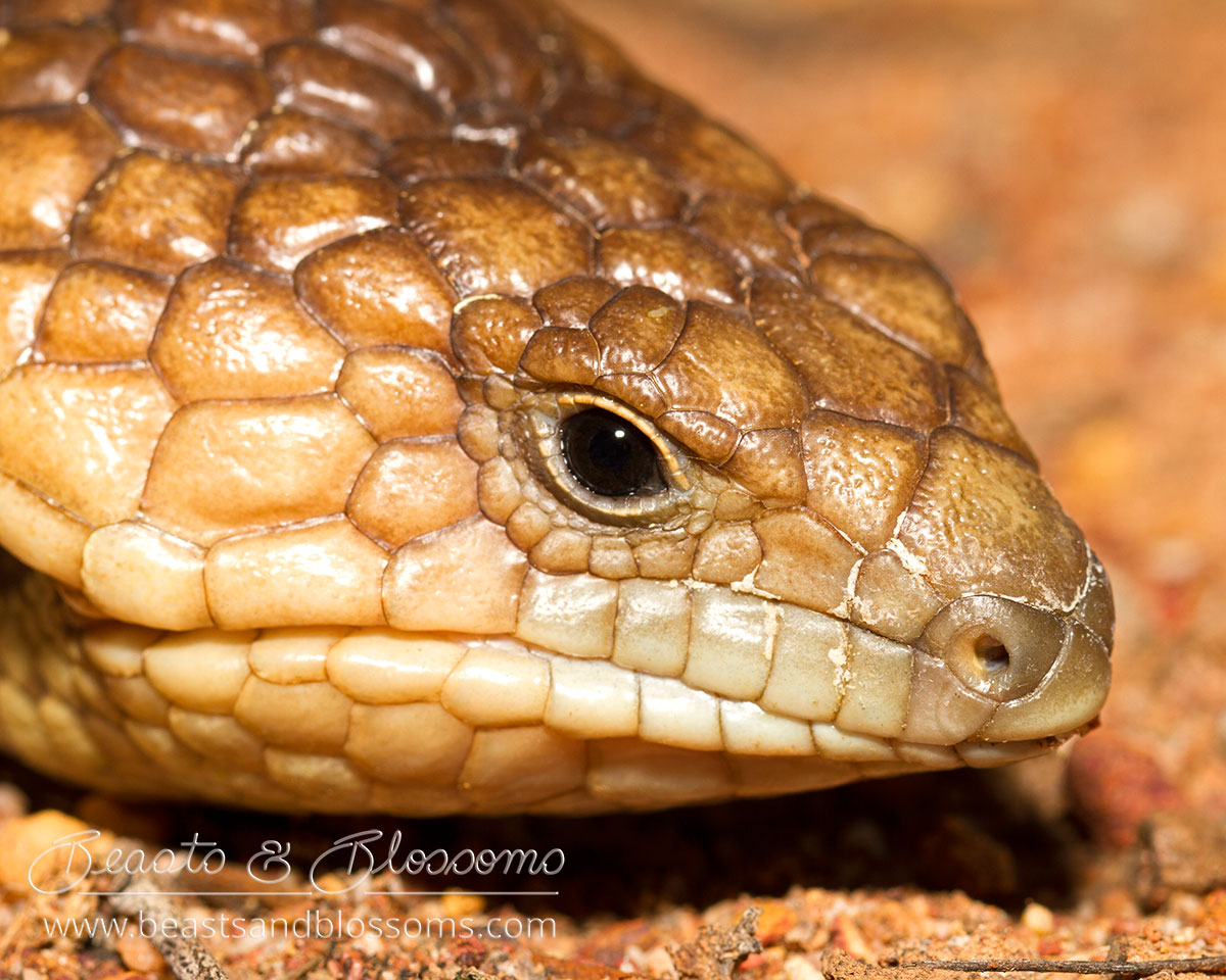 South west WA wildlife: bobtail skink (Tiliqua rugosa)
