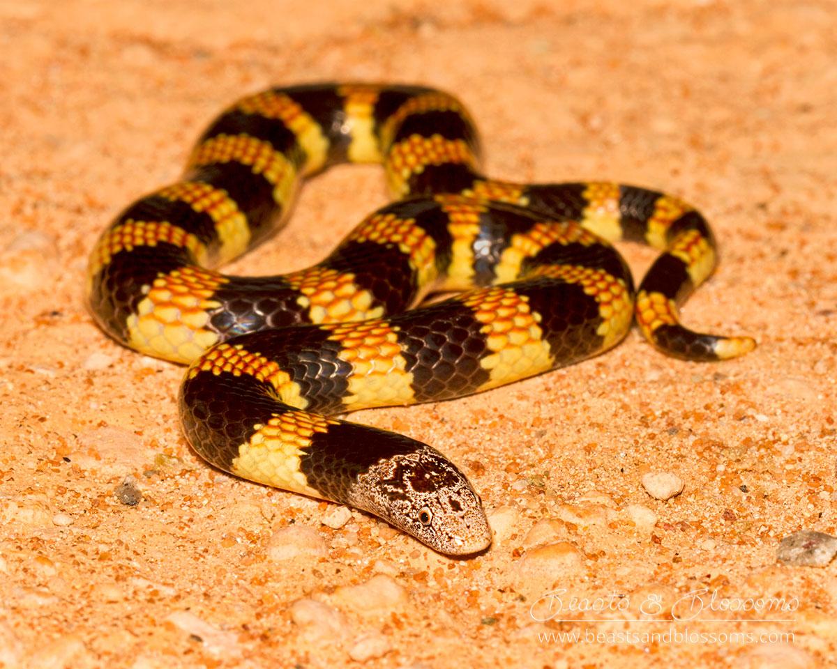 WA wildlife: desert banded snake (Simoselaps bertholdii)