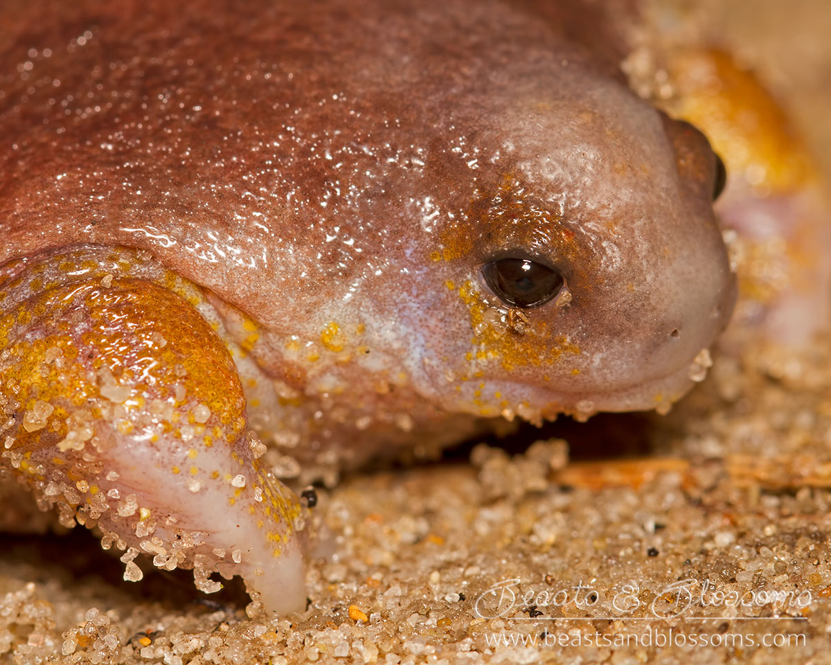 South west WA wildlife: turtle frog (Myobatrachus gouldii)