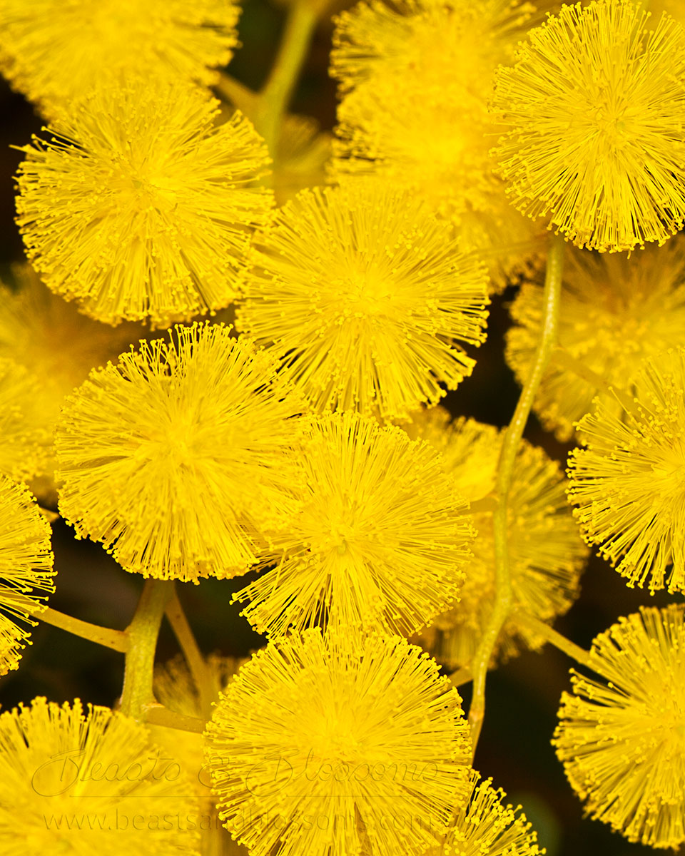 South west WA wildflower: Acacia sp.