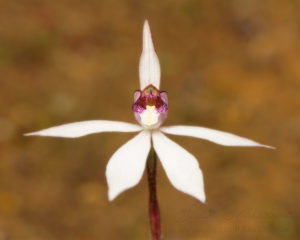 South west WA wildflower: sugar orchid (Ericksonella saccharata)