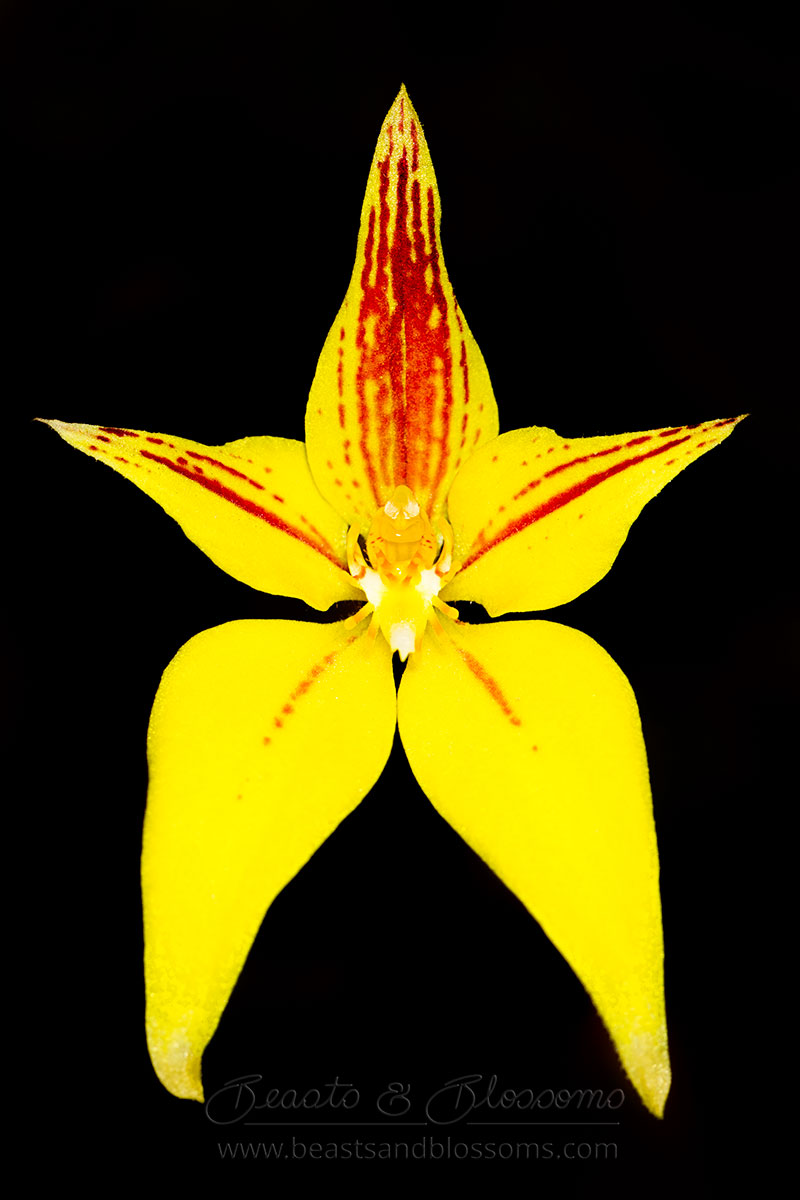 South west WA wildflower: cowslip orchid (Caladenia flava)