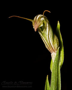 South west WA wildflower: green-veined shell orchid (Pterostylis scabra)