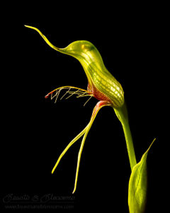 South west WA wildflower: bird orchid (Pterostylis barbata)