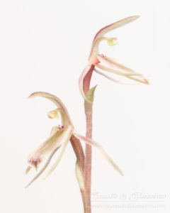 South west WA wildflower: mosquito orchid (Cyrtostylis robusta)