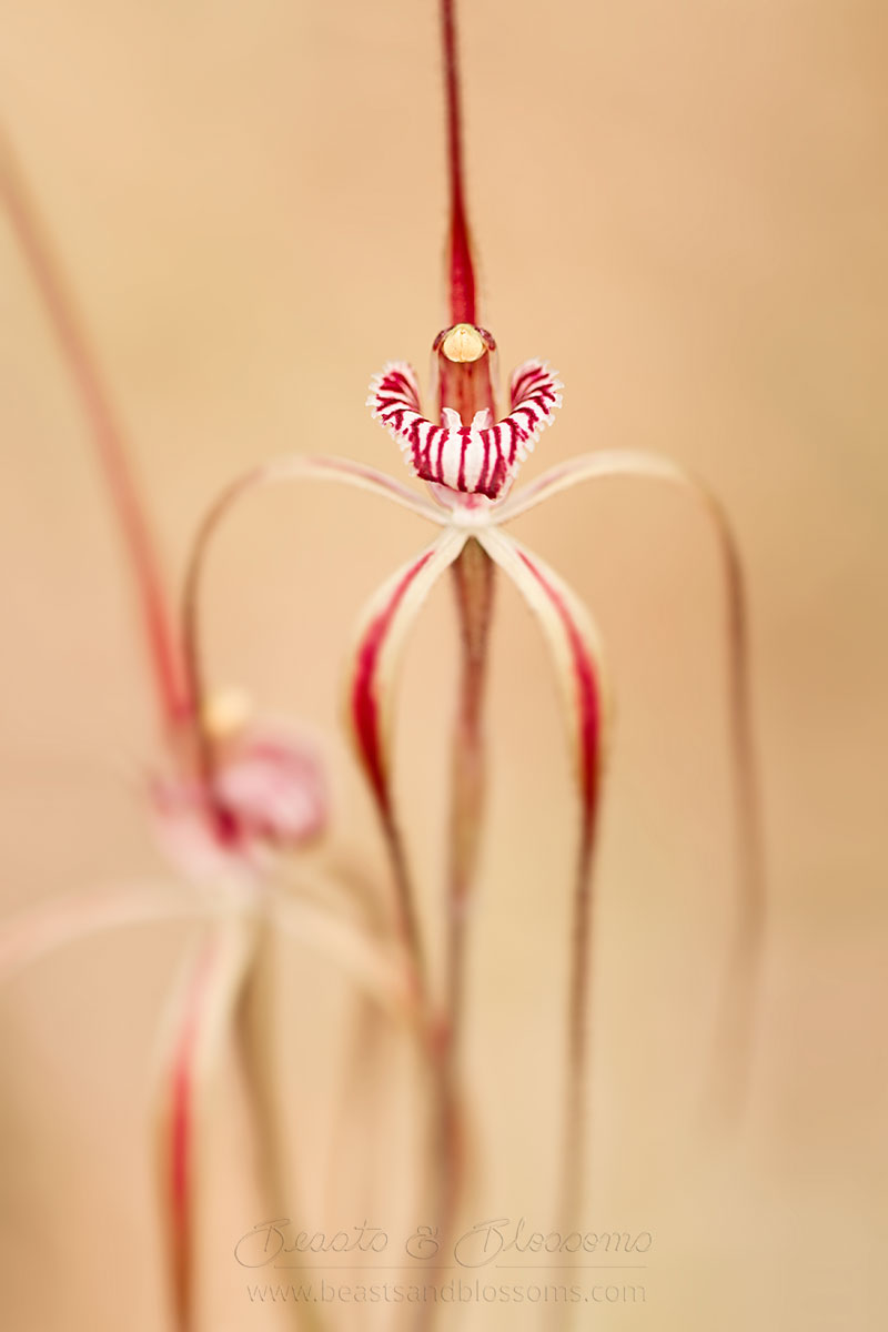 South west WA wildflower: Chapman's spider orchid (Caladenia chapmanii)