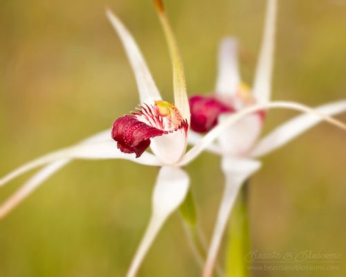 South west WA wildflower: exotic spider orchid (Caladenia nivalis)