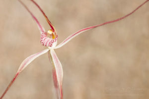 South west WA wildflower: western wispy spider orchid (Caladenia microchila)
