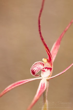 South west WA wildflower: spider orchid (Caladenia sp.)