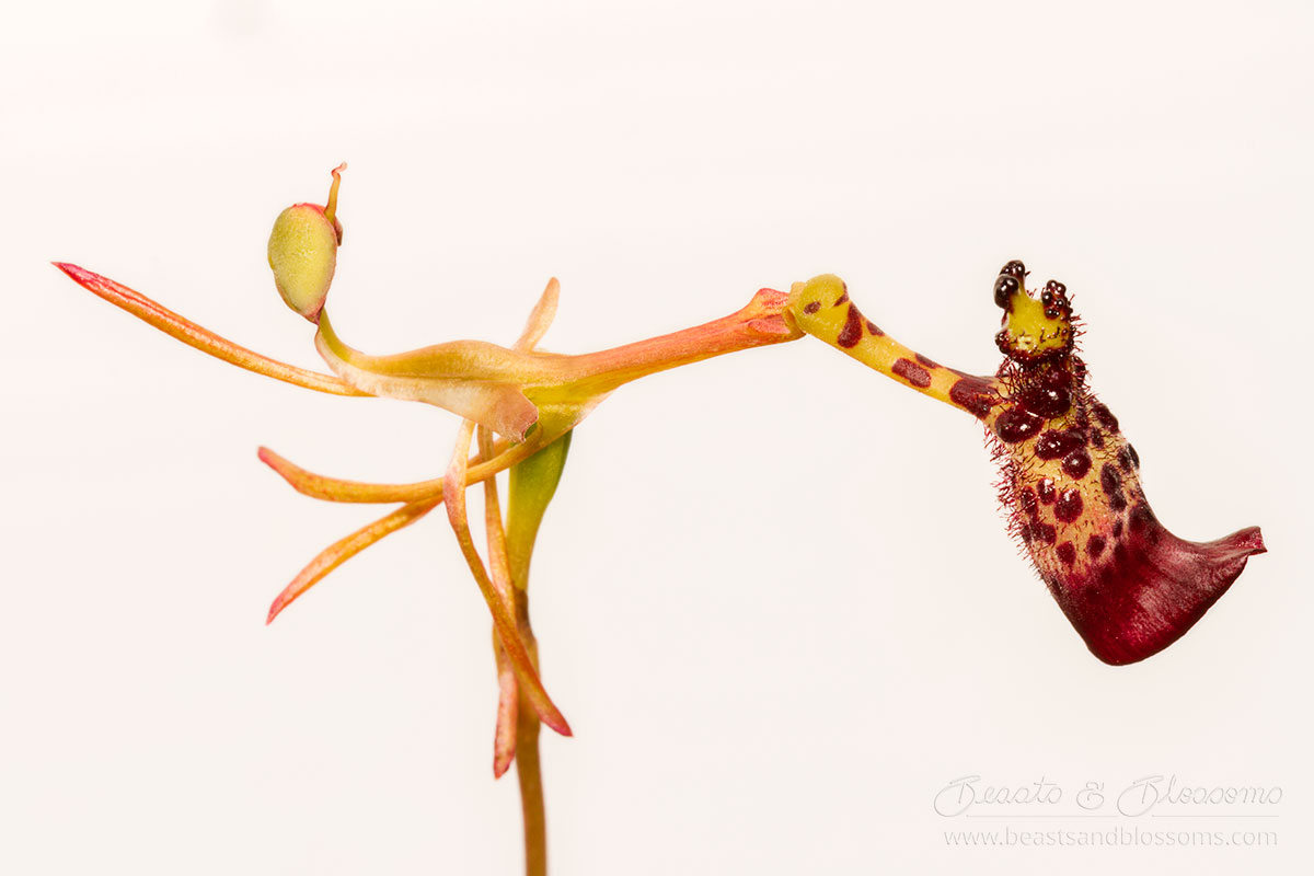 South west WA wildflower: warty hammer orchid (Drakea livida)
