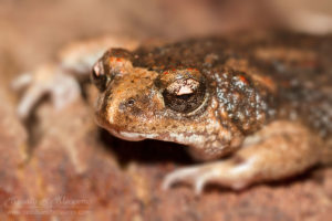 South west WA wildlife: crawling toadlet (Pseudophryne guentheri)