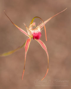 South west WA: rusty spider orchid (Caladenia ferruginea)