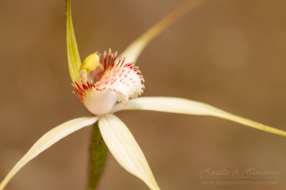 South west WA wildflower: Christine's spider orchid (Caladenia christineae), threatened (Endangered) flora