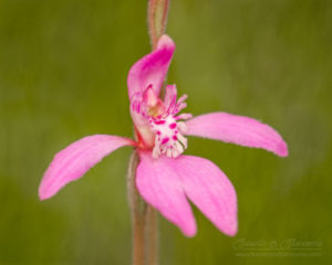 South west WA wildflower: little pink fan orchid (Caladenia nana nana)