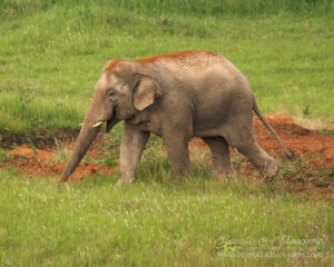 Asian elephant (Elephus maximus), Thailand