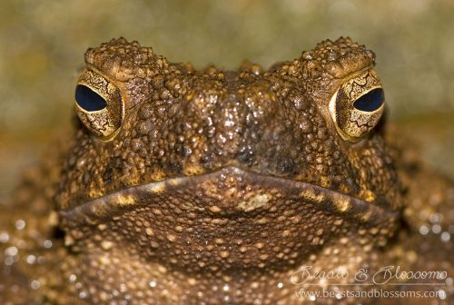 Asian giant toad (Phrynoides asper), southern Thailand