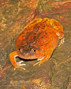 Burmese squat frog (Calluella guttulata), northern Thailand
