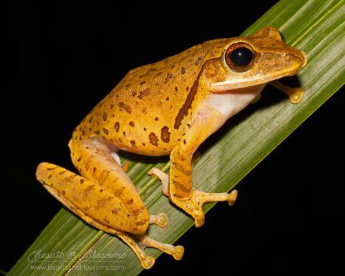 Common tree frog (Polypedates leucomystax), southern Thailand