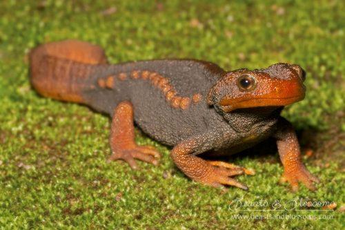 Crocodile salamander (Tylototriton verrucosis), northern Thailand