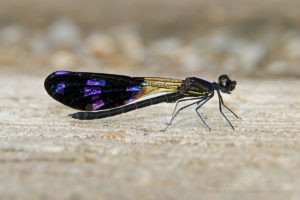 Damselfly with purple and black wings, northern Thailand