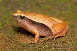 Dark-sided chorus frog (Microhyla heymonsi)