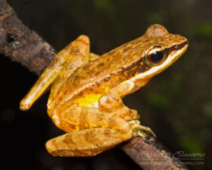 Doi Inthanon rock frog (Amolops archotaphus), northern Thailand