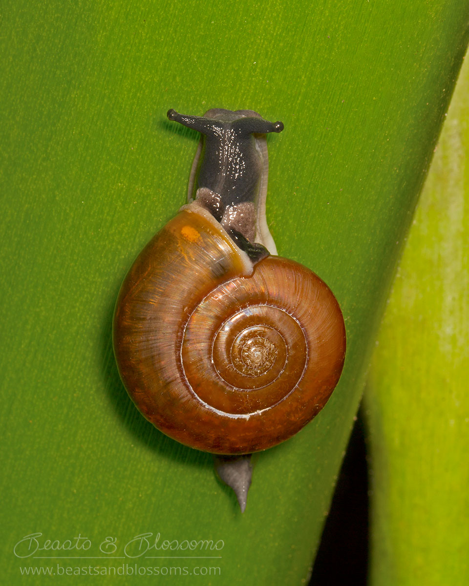 Flat-shelled snail from southern Thailand