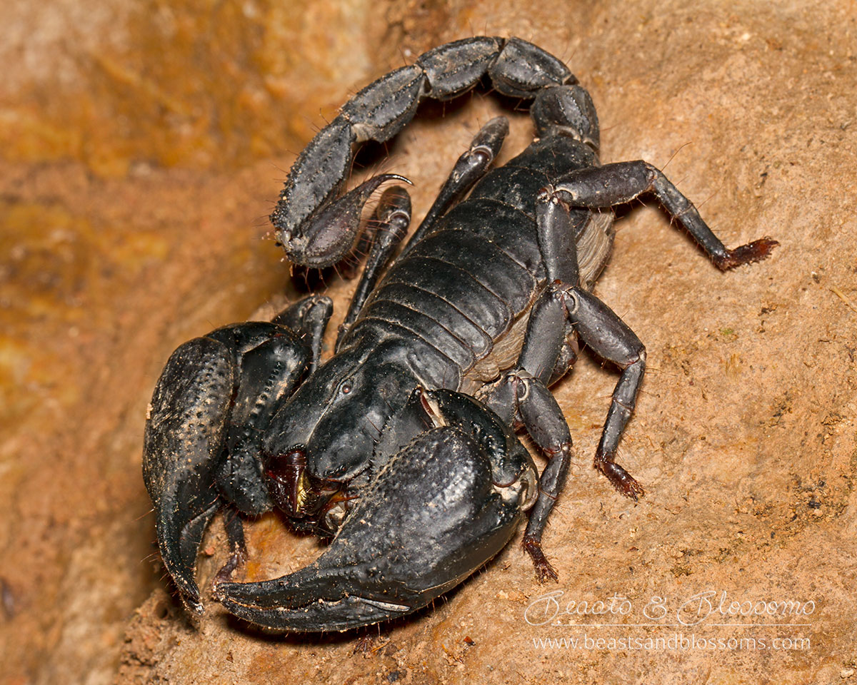 Giant forest scorpion (Hetermetrus sp.), northern Thailand