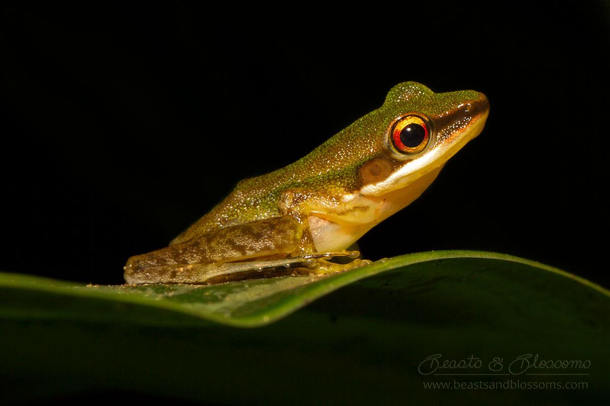 Hylarana sp., southern Thailand