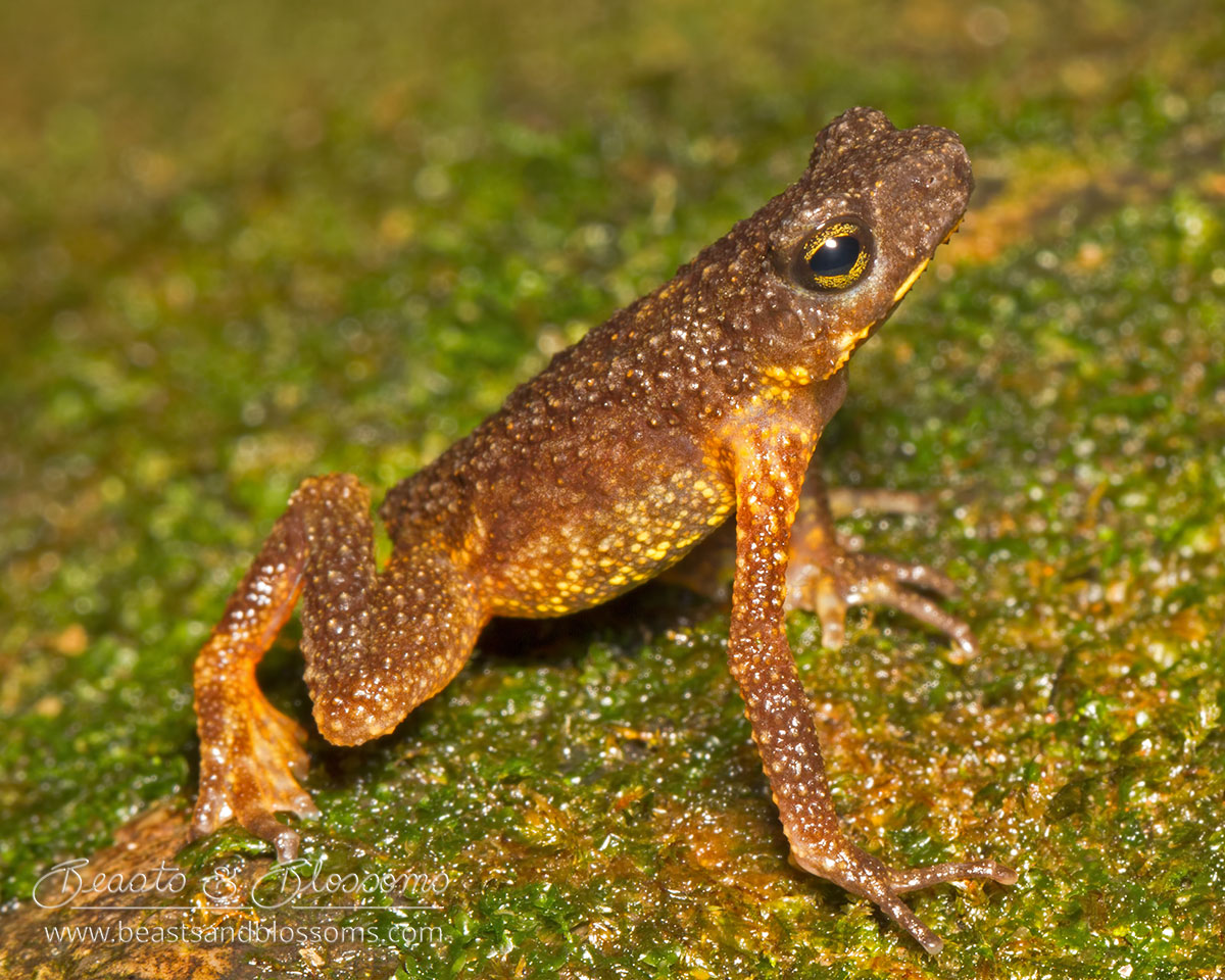 Inthanon stream toad (Ansonia inthanon), northern Thailand