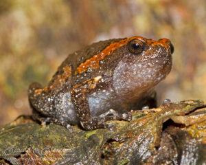 Juvenile banded bullfrog (Kaloula pulchra), southern Thailand
