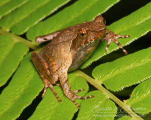 Little horned toad (Megophrys minor), northern Thailand