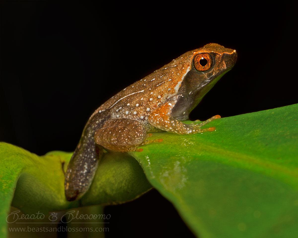 Montane horned frog metamorph (Megophrys longipes), southern Thailand