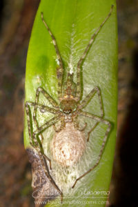 Spider with egg case, southern Thailand