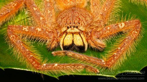 Thai wildlife: sparassid spider