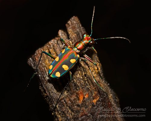 Tiger beetle, southern Thailand